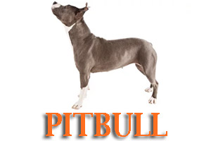 Pitbull Dog Training in Medford Oregon and Southern Oregon | Prodogz Dog Training